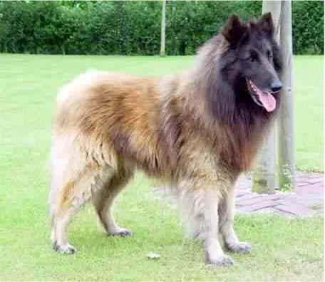 belgisk hyrdehund hvalpe
